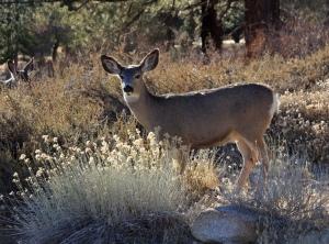 Mule_deer_doe_backlit
